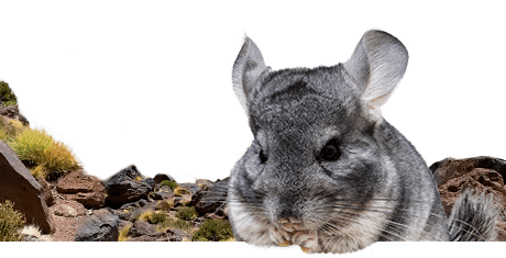 All about chinchillas  Nutrition | Keeping | Biology