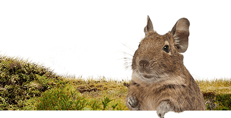 All about degus  Nutrition | Keeping | Biology