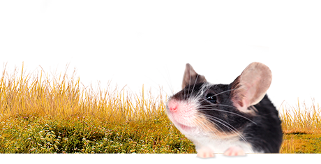 All about mice  Nutrition | Keeping | Biology