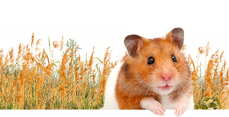 All about hamsters  Nutrition | Keeping | Biology