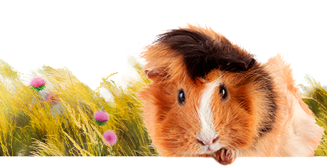 All about guinea pigs  Nutrition | Keeping | Biology