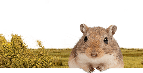All about gerbils  Nutrition | Keeping | Biology