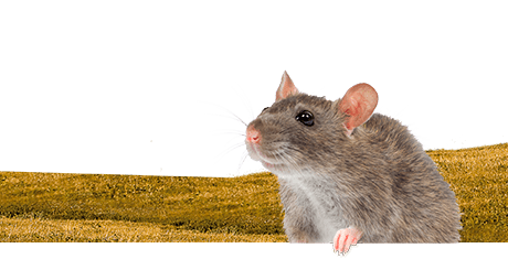 All about rats  Nutrition | Keeping | Biology