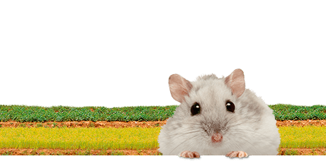 All about dwarf hamsters  Nutrition | Keeping | Biology